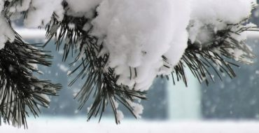snow on pine branches in front of window